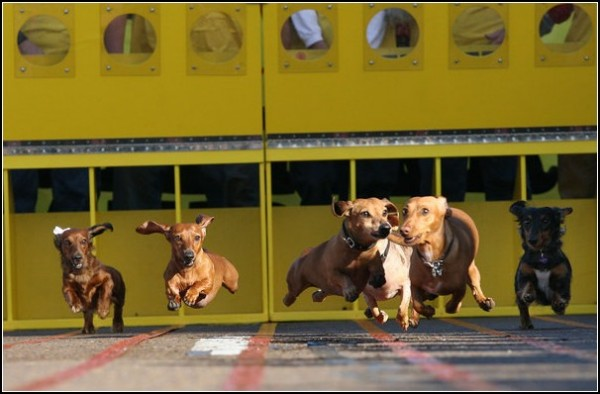 Собачьи бега в Сан-Диего: таксы рвутся к финишу