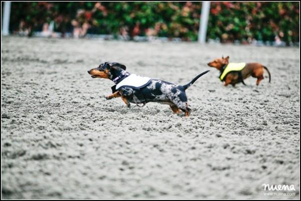 Собачьи бега в Сан-Диего: большие гонки такс