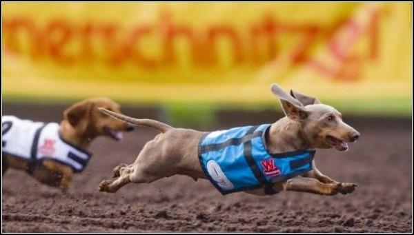 Собачьи бега в Сан-Диего: крупнейшие гонки такс
