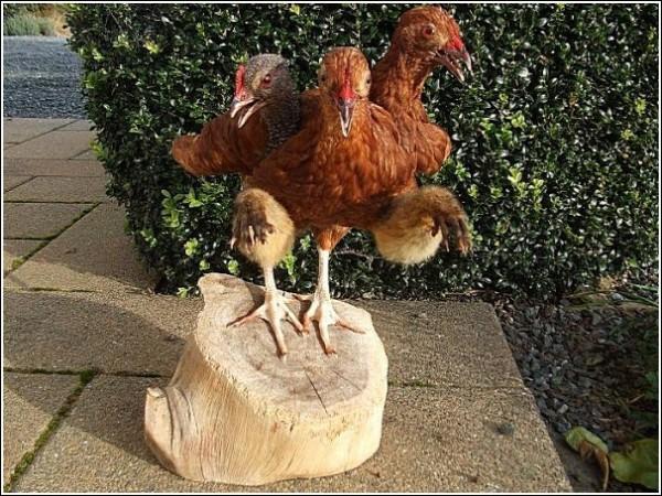 Странные животные Эндрю Ланкастера: трехглавая курица