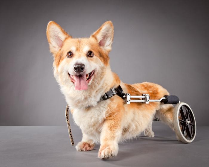 Жизнерадостные собаки-инвалиды: корги Дункан