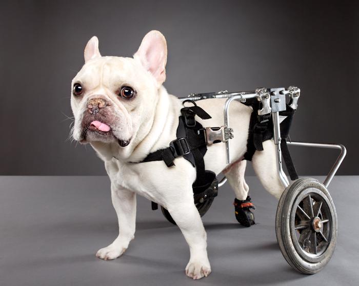 Жизнерадостные собаки-инвалиды: французский бульдог Малыш Рю