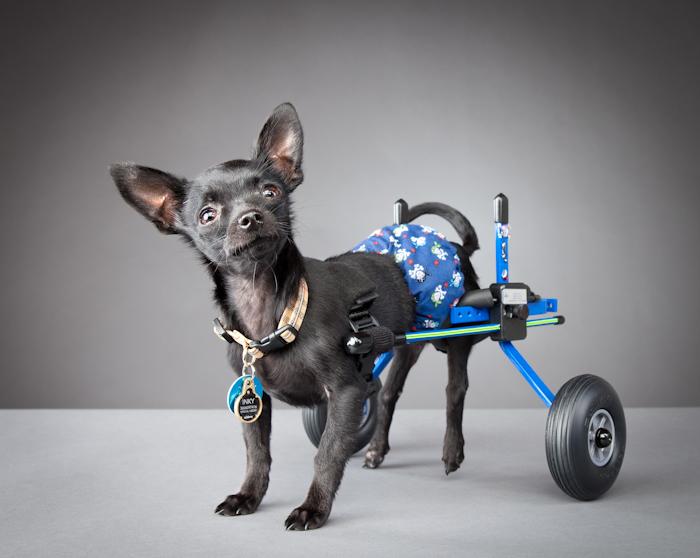 Жизнерадостные собаки-инвалиды: черный чихуахуа Инки