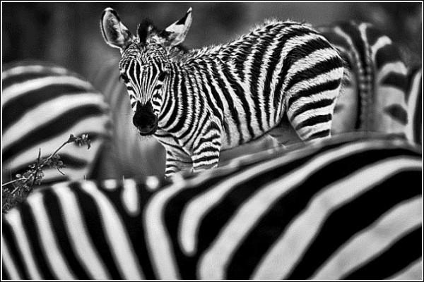 Зебры: фото дикой природы Сюхи Дербента
