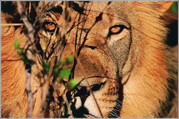Лев: фото дикой природы Сюхи Дербента