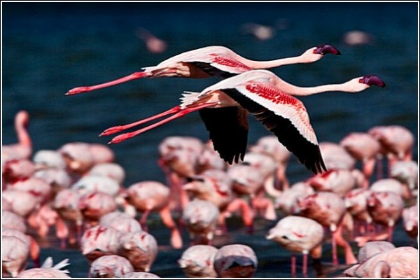 Фламинго: фото дикой природы Сюхи Дербента