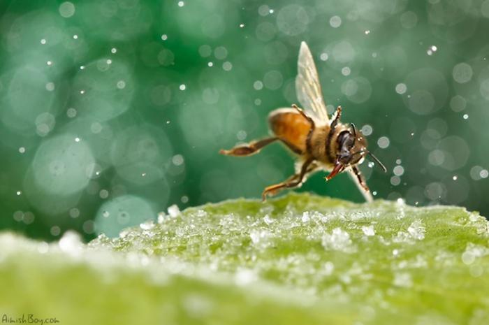 Сказочная жизнь обычных насекомых: пляшущая пчела
