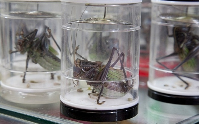 Сверчок - насекомое красивое