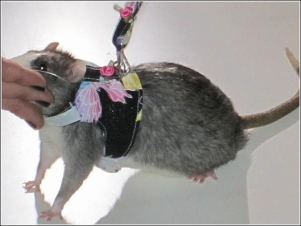 Одежда Для Крыс