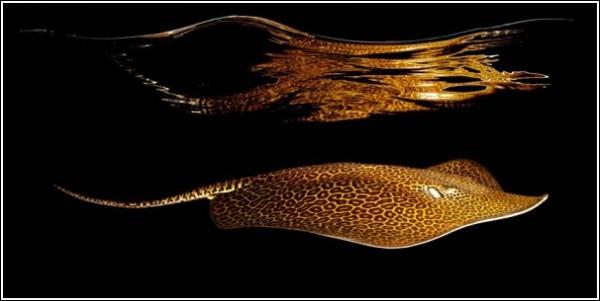 Яркие обитатели морских глубин: леопардовый скат