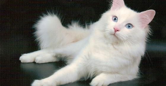 Питомцы с характером или обзор 6 пород диких кошек