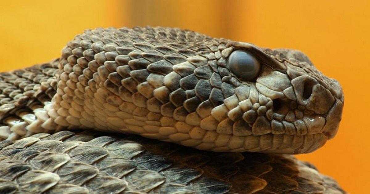 Желтая ядовитая змея