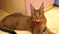 Играя в доктора Моро: каракет - самая дорогая и самая редкая порода кошек