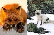 Лисонька-лиса, рыжая краса: 30 зимних фотографий хитрой красавицы