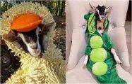 10 забавных фотографий очаровательной козы, которую спас костюм утки