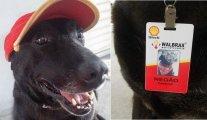 Собаки-работяги: этих милых псов спасли от смерти, а теперь они «трудятся» вместе со своими хозяевами