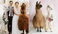 Люди, которые не любят гостей, могут пригласить на свою свадьбу парочку лам