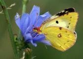 «Ах, лето!»: великолепные макрофотографии бабочек гомельчанина Алексея Чепленко