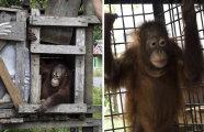 Малыш обрел свободу: после двух лет в клетке орангутанг наконец-то получил шанс на новую жизнь