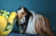 Само очарование: фотографии длинношерстых морских свинок, причёскам которых могут позавидовать модницы