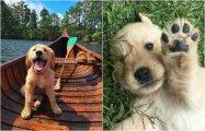 20 забавных фотографий с милейшими щенками породы золотистый ретривер