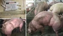 Свинохалки: В Камбодже выращивают свиней-мутантов, похожих на мускулистых качков